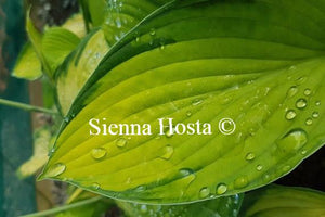 Hosta Gold Standard Rain Drops