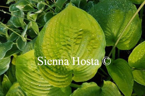 Hosta Fran Godfrey