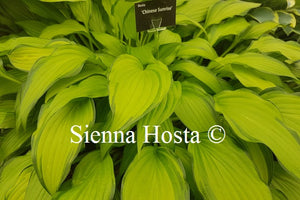 Hosta 'Chinese Sunrise'