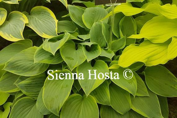 Miniature And Small Hostas Sienna Hosta