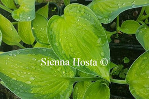 Hosta Rossing's Pride