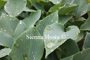 Hosta 'Buckshaw Blue'