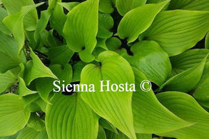 Hosta Miss Ruby
