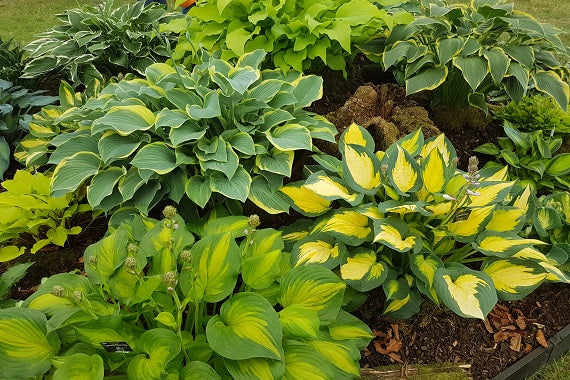 Sienna Hosta Hostas for Sale