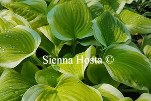 Hosta Sweet Innocence