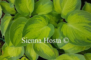 Hosta Alligator Alley