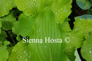 Hosta Green Wings