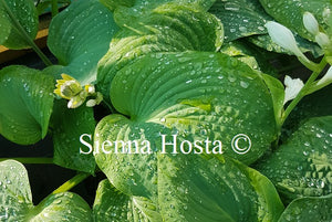 Hosta 'Gray Cole'