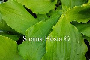 Hosta 'Cranberry Wine'