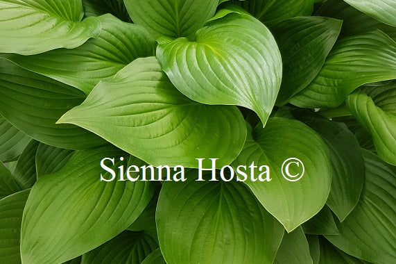 Hosta Sweet Susan