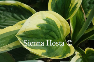 Hosta 'Foxfire Night Skye'