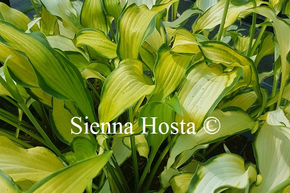 Hosta 'Hawaiian Luau'