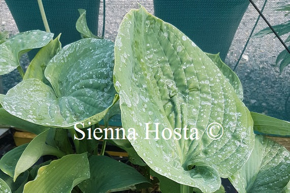 Hosta 'Blue Dolphin'