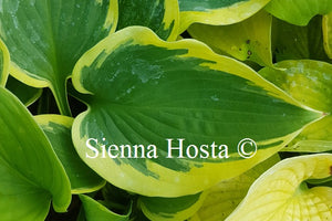 Hosta 'Band of Gold'