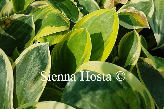 Hosta 'Frosted Frolic'