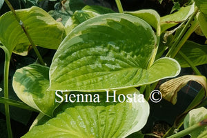 Hosta His Honor