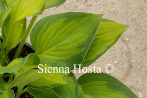 Hosta Goldrush