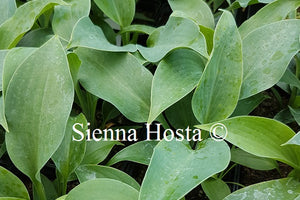 Hosta 'Devon Blue'