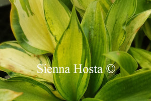 Hosta 'Ruffled Pole Mouse'