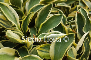 Hosta 'Little Ice Mouse'