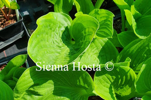 Hosta 'Uprising'