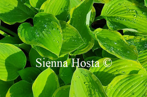Hosta 'A Dash of Lemon'