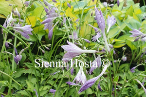 Hosta 'Surfer Girl'