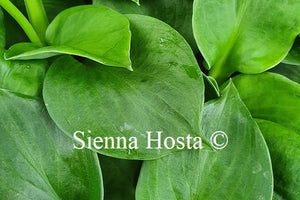 Hosta 'Monster Ears'