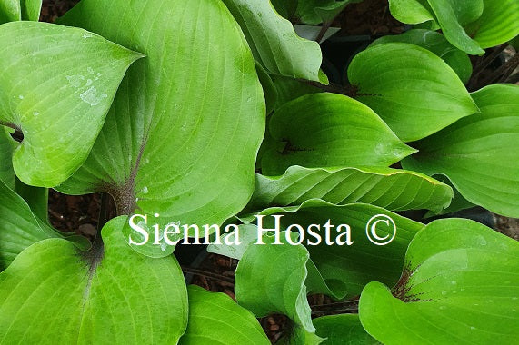 Hosta 'Sugar Plum'