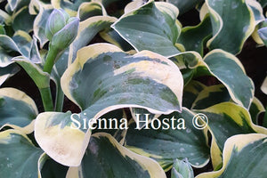 Hosta 'Mouse Capades'