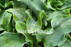 Hosta 'Flamenco Mouse'