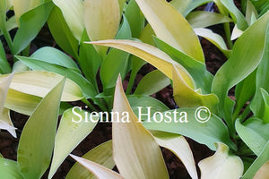 Hosta 'Strawberry Parfait'