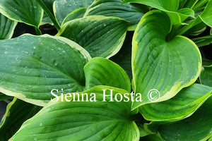 Hosta 'Goldbrook Glamour'
