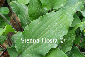 Hosta Red Wine Fries