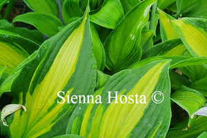 Hosta 'High Voltage'