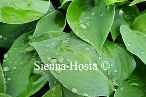 Hosta 'Blue Boy'