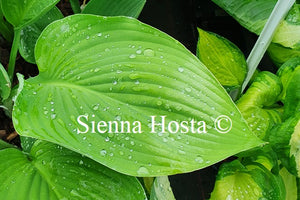Hosta 'Glen Triumph'