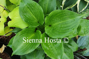 Hosta 'Shiny Sonata'