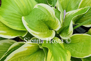 Hosta 'Moon Dance'