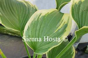 Hosta 'Light Ray'