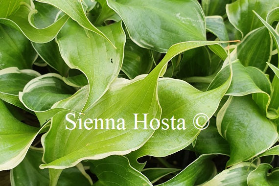 Hosta 'Frosted Raspberry'
