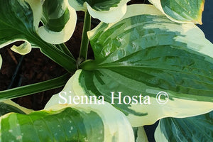 Hosta 'Christmas Pageant'