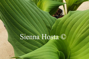 Hosta 'Fleet Week'