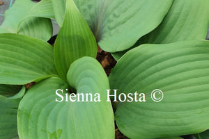 Hosta 'Blushing Blue'