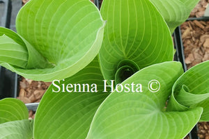 Hosta 'Cup of Joy'