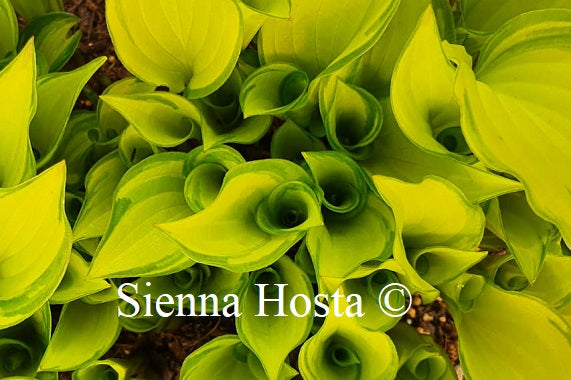Hosta Cracker Crumbs