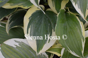 Hosta Lacy Belle