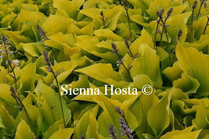 Hosta Sun Power
