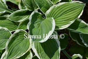Hosta 'Zager's White Edge'