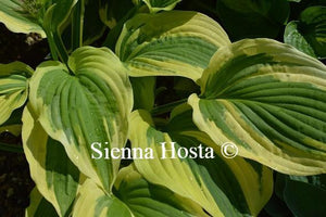 Hosta Winter Warrior